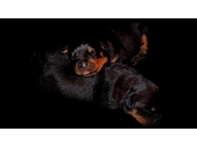 Rottweiler Puppies Kimberley - Ad Land South Africa