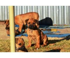 BEAUTIFUL FEMALE PUPPIES AVAILABLE