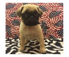 Stunning Pedigree Fawn Pug Puppy For Sale