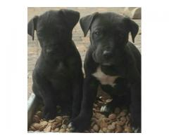 Pure bred black Great Dane puppies for sale