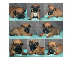 Staffie puppies for sale Cape Town