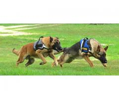 Family Protection Dog Training