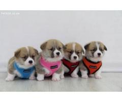 Puppia Soft Harnesses in South Africa