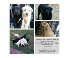 Laborador Puppies for sale
