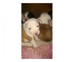 Staffie pups for sale