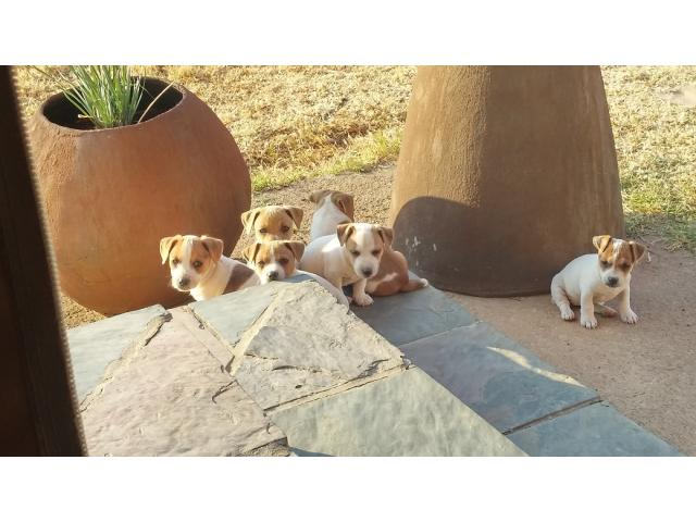 Short Leg Jack Russel Puppies