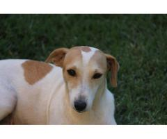 Jack Russell Adult Female for sale