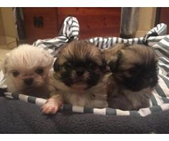Pekingese pups for sale
