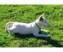 Bull Terrier Puppies