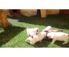 Bull-terrier Puppies