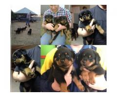 Rotweiller Pupps for sale!