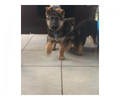 German Shepherd pups for sale