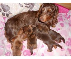 KUSA Registered Miniature Long Haired Dachshund Puppies