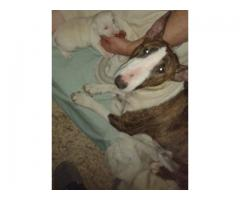 Pure Bred Bullterrier puppy needs loving home