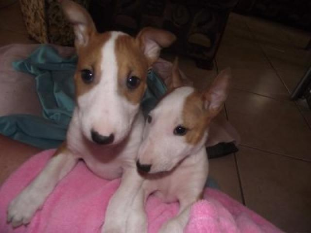 Bullterrier puppies for sale
