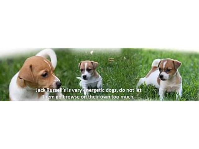 Jarocas Kennels - Breeder of Labrador Retriever, Jack Russell and Beagle puppies in Gauteng