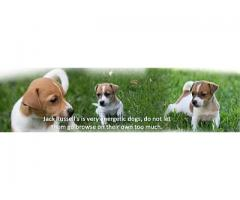 Jarocas Kennels - Breeder of Labrador Retriever, Jack Russell and Beagle puppies in Gauteng
