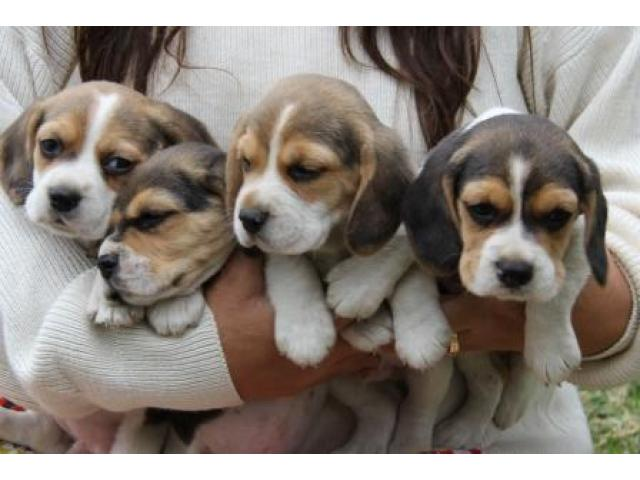 ... Jarocas Kennels - Breeder of Labrador Retriever, Jack Russell and Beagle puppies in Gauteng