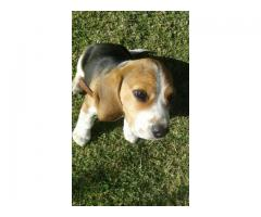 Male Registered Beagle puppy for sale