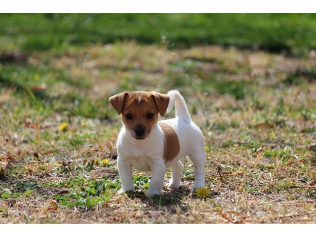 ... Jack Russel puppies for sale ...