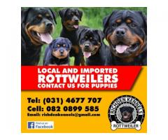 KUSA Rottweiler pups for sale, Excellent Bloodline, Show quality