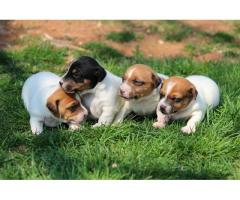 Registered Jack Russel puppies for sale