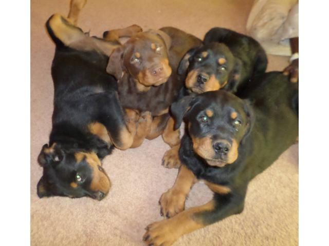 Rottweiler puppies for sale Sandton - Ad Land South Africa