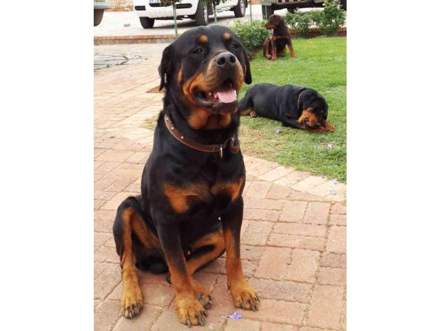 The Best Parrots In The World Rottweiler For Sale In Gauteng