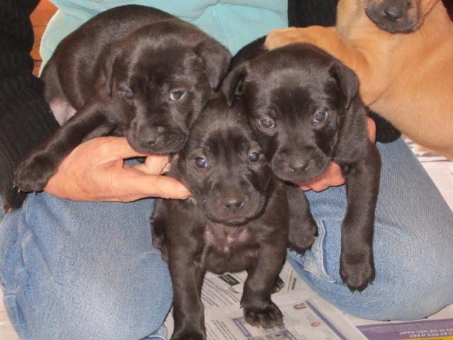 Staffie x puppies