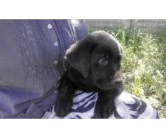 Beautiful Registered Labrador Retriever puppies for sale