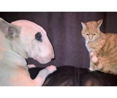4 Bullterrier puppy girls for sale