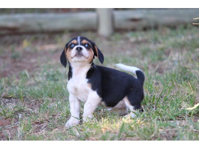 Beagle X Jack Russell Jackabee Puppies For Sale Pretoria Ad Land