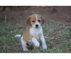 Beagle X Jack Russell - Jackabee puppies for sale