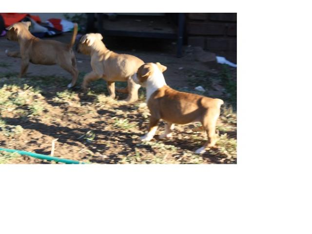 Pitbull puppies for sale Centurion - Ad Land South Africa