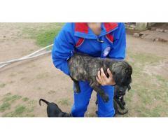 Cane Corso  ( Italian Mastiff)
