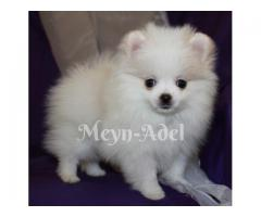 Pomeranians / Toy Poms - So small and cute!