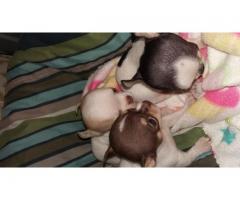 Chihauhau pups