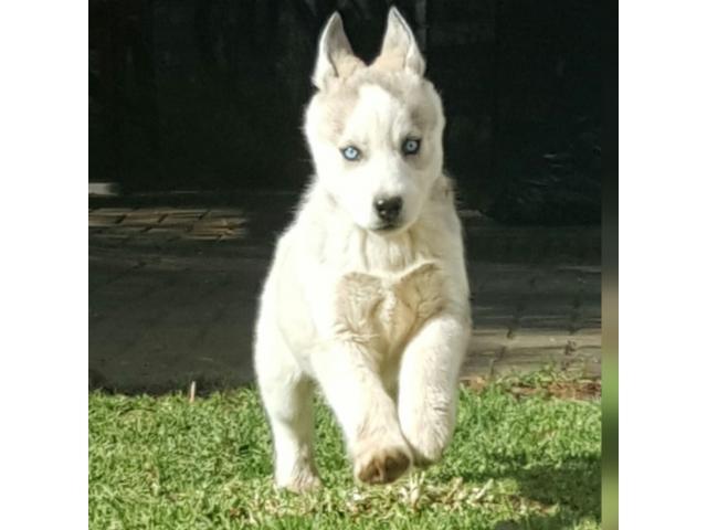 Geregistreerde Husky Pups