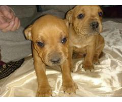 AWESOME sTAFFIE puppies for sale