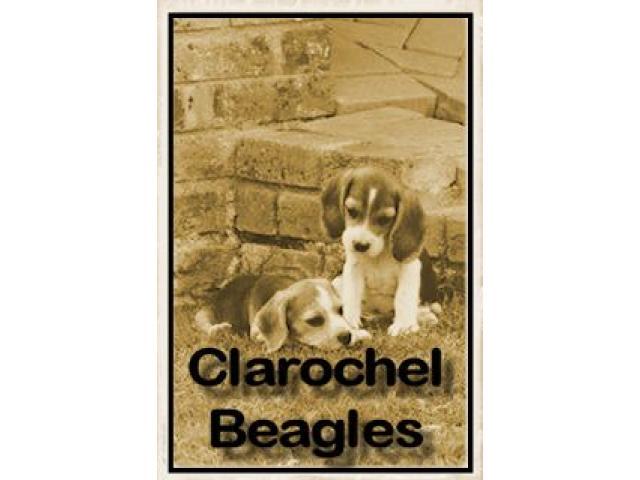 Clarochel Beagles