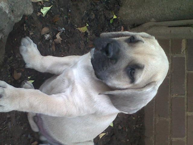 Boerboel Puppys