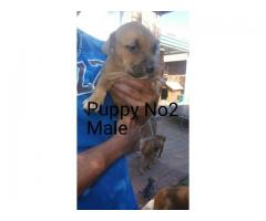 Beautiful Purebred Yellow Bolio Pitbull Puppies R1500