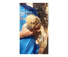 Beautiful Purebred Yellow Bolio Pitbull Puppies R1500