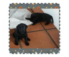 Purebred Labrador Puppies for sale