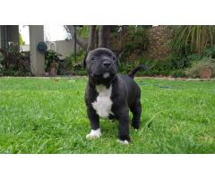 3 American Staffordshire Terrier ( amstaffs ) Females for sale