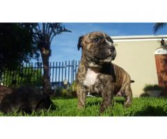 3 American Staffordshire Terrier ( amstaffs ) Females for sale