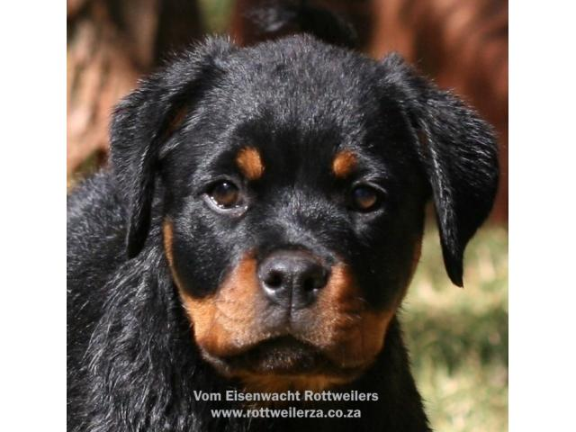 Awesome Rottweiler Puppies