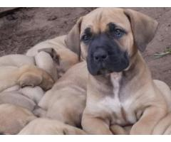 Beautiful purebred boerboel puppies for sale!