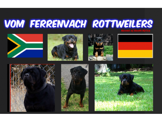 Lion Head Rotweilers – HD Wallpapers
