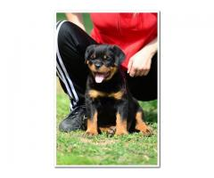 ROTTWEILER  PUPPIES  FOR  SALE  KUSA  REGISTERED  PUPPIES